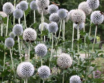 Echinops Sphaerocephalus - 40 Seeds - Great Globe Thistle