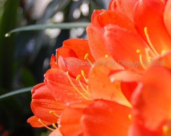 Orange Wall Art, Home Decor, Clivia Flower Photos, 8 x 10, Gallery Wrapped Canvas Wall Hanging