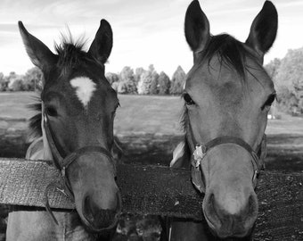 Horse, B&W, equine photo