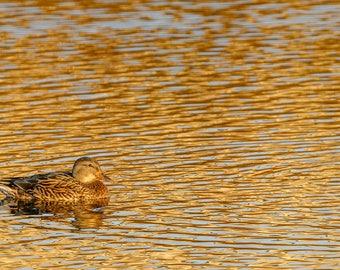 Duck Photography, Duck Print, Waterfowl Photography, Female Mallard Duck, Bird Photography, Nature Photography, Duck Art, Home Decor