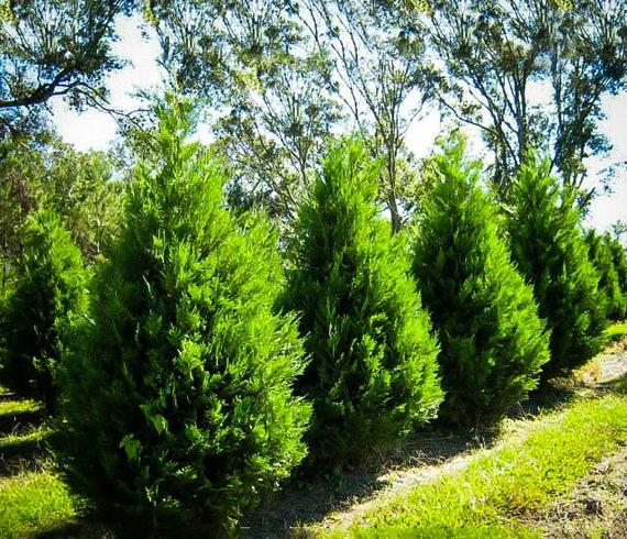 Leyland cypress mature height in idaho
