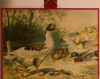 Vintage  Old Print on cardboard Goose and Duck  School Chart Lithograph