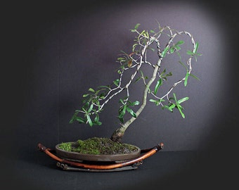 American Live Oak Bonsai Tree, Motion and Wind Collection from LiveBonsaiTree