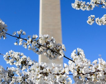 Cherry Blossom Festival - Fine Art Print (Various Sizes) - Washington, D.C., Tidal Basin, Washington Monument