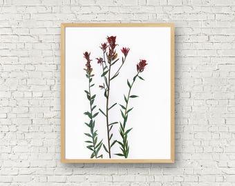 Indian Paintbrush, Red Wildflower Herbarium Botanical Print, Paint Brush Flower, Castilleja, Dried Flower Art, Floral Artwork, Pressed Plant