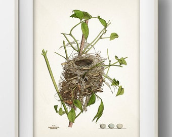 Indigo Bird Nest - NE-06 - Rustic woodland fine art print of a vintage natural history antique illustration
