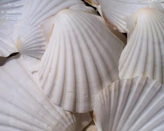 "Irish baking Scallop Shells 4""-5""  Case Pack 10"