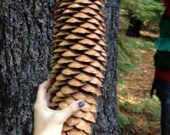 7 Sugar pine cones