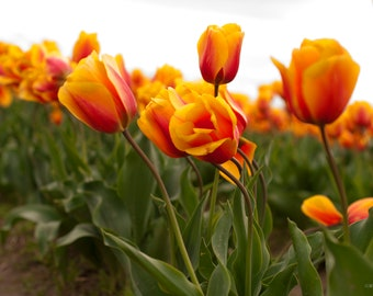Red and Yellow Tulip Print