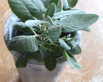 Sage Seeds, Salvia officinalis, Great for Indoor Herb Gardens and Container Gardens, Chef's Favorite