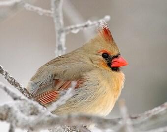 Northern Cardinal, Female, 8x10 Fine Art Photograph (D8741)