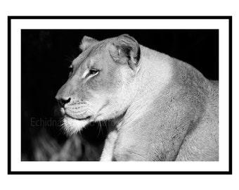 Lion Art Print, Black and White Animal Photography, Lioness Nursery Art, Kids Room Wall Decor, 12x16 Print, Australian Seller