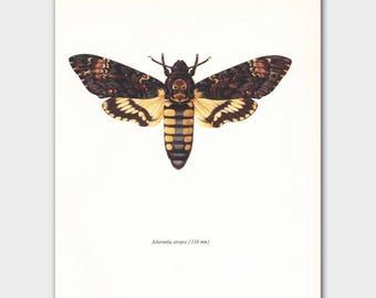 "Skull and Crossbones, Butterfly Art (Goth Decor, Scientific Illustration) Vintage Butterfly Print --- ""Death Head Moth"" No. 116-2"
