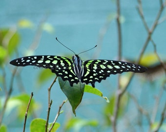 Tailed Jay  Butterfly blue background  photo card 5x7
