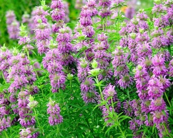 Lemon Bergamot Seeds; Lemon Bee Balm (Monarda citriodora) 40+ Medicinal Herb Seeds in Frozen Seed Capsules™  for Seed Saving or Planting Now