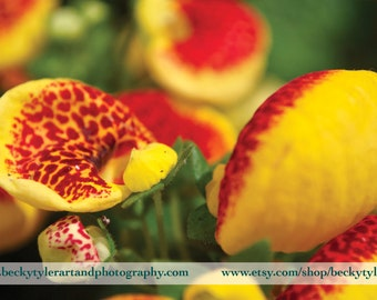 Calceolaria, Macro Photography, Print