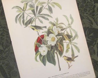 Vintage Bird Illustration - Audubon Book Plate - Bachman's Warbler