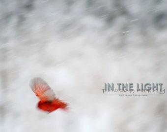 Cardinal in Snow #6 - fine art photography
