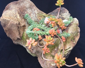 Succulent Garden growing in ancient Marine Fossil