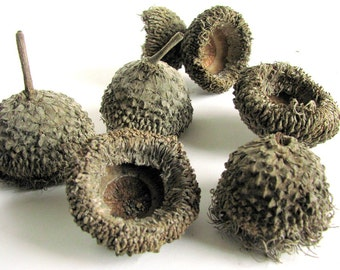 25 Large Fringed Bur Oak Acorn Caps, Size Small