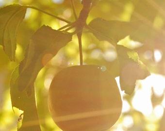 Ripening Apple - fruit photograph - fall autumn sun nature dreamy golden botanical