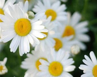 400 Feverview Chrysanthemum Flower Seed (XL)