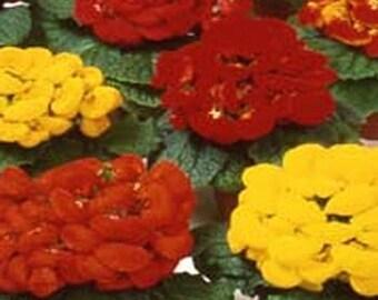 Slipper Flower- Fashion Mix- 50 Seeds