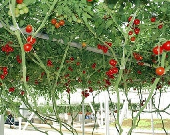 10 Giant  Red Tomato Tree Seeds-1123
