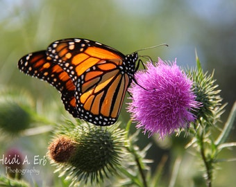 Butterfly photo card, photo note card, blank card, flower photo card, Flower photography, Pink flower, greeting card, Monarch Butterfly,