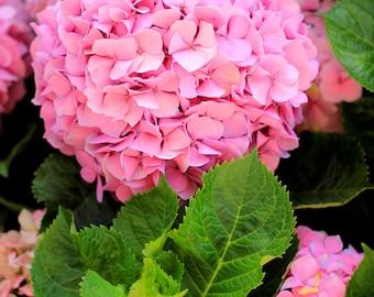 Hydrangeas  - Beautiful Summer Flowers Photo Print - Size 8x10, 5x7, or 4x6