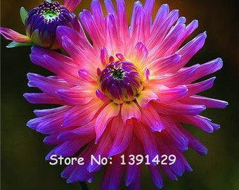 Dahlia Bulbs, (not Dahlia Seeds), Holland Dahlia Flower 3 Bulbs (item No: 6)