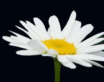 White Daisy-Matted and Ready to Frame-Original Photography