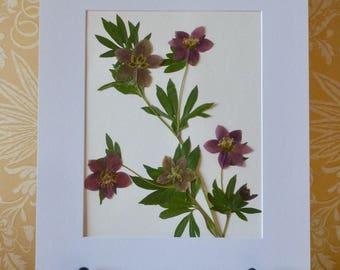 Real Pressed Flower Oriental Hellebore Lenten Rose Botanical Art Herbarium 15x19