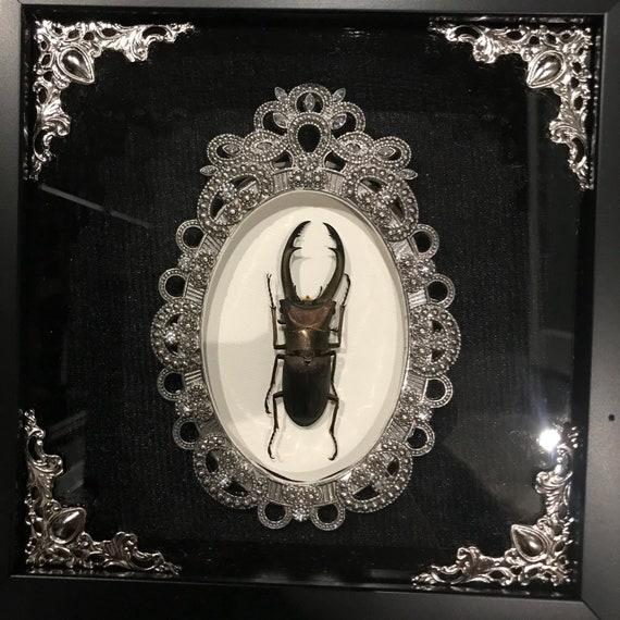 Real cyclomatus beetle taxidermy display