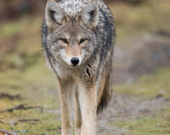 Coyote Photo; Canvas or Metal Print