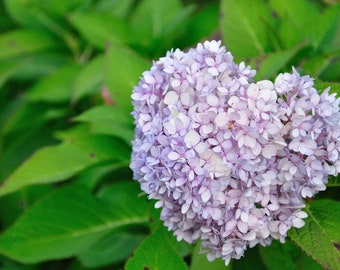 Photo Print - Purple Hydrangea