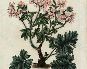 original Antique Hand colored Engraving Robert Sweet Flower Garden 1838 - British Flower Garden