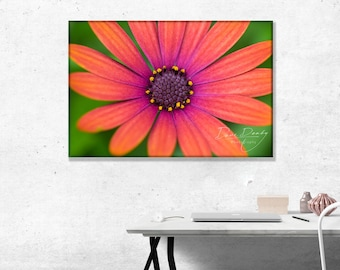Orange and Mauve Daisy Shape Flower Close Up. Photo Wall Art Print