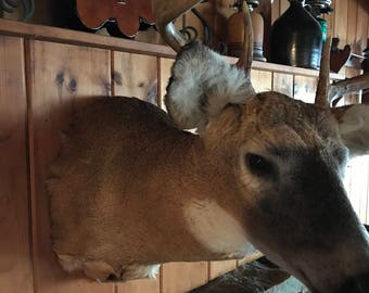 8 Point White Tail Deer Taxidermy Head Mount