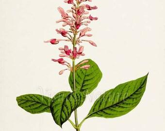 Firespike Flower Art Print, Botanical Art Print, Flower Wall Art, Flower Print, Floral Print, pink