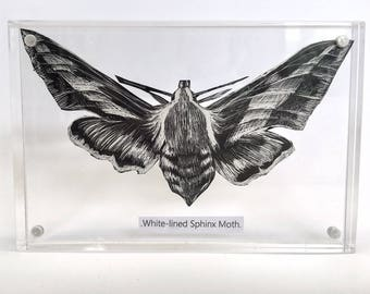 "Original ""White-Lined Sphinx Moth"" Scratchboard Artwork in Acrylic Block Frame"