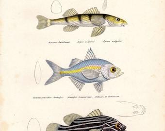 1836 Antique Fish Print Madras Perchlet Brodtmann Fish Print Schinz Folio Pl 5