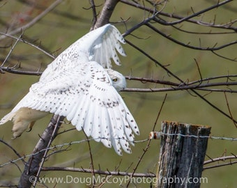 Snowy Owl in Central Ky. #2460