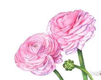 Ranunculus print of watercolour painting, Flower print, ranunculus watercolor painting print, wedding flowers print, 5 by 7 size, R13916