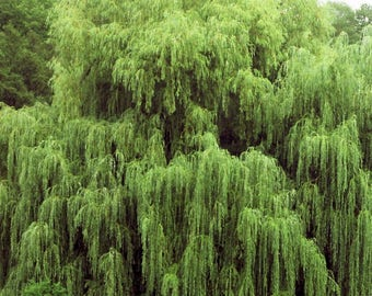 16 Weeping Willow Trees   Ready To Plant   Beautiful Arching Canopy