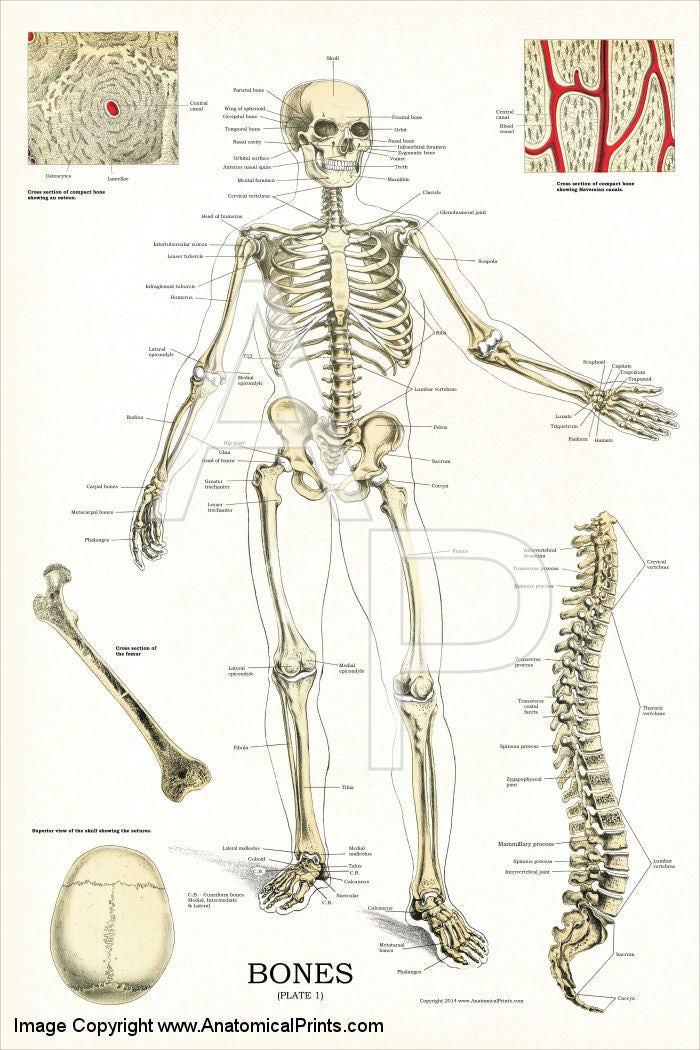 Wunderbar Kuh Skelettanatomie Bilder - Menschliche Anatomie Bilder ...