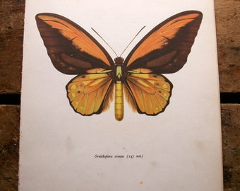 Vintage Brown Butterfly Botanical Print - Ornithroptera croesus