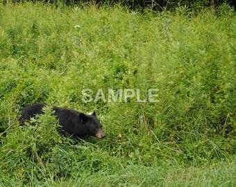 Fauna #8 - black bear - DIGITAL DOWNLOAD