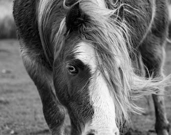 Welsh mountain Pony Canvas