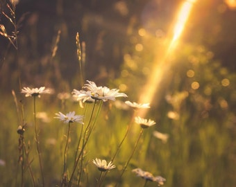 Daisies in Sunset Photograph,nature photography,glowing sunbeams,sublime,wildflowers,summer evening,romantic decor,peaceful botanical print